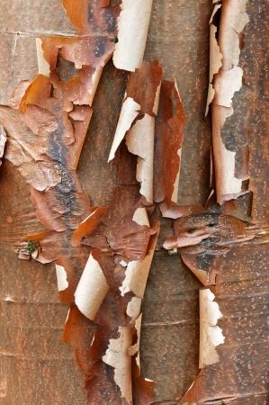 winter bark on acer griseum