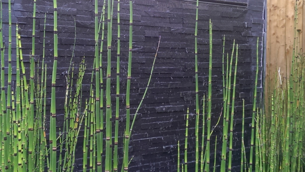 Equisetum hyemale in front of slate water feature